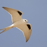 Swallow-tailed Kite / Elanion naucler (S. Cavailles)