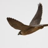 Barbary Falcon / Faucon de Barbarie (S. Cavailles)