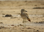 Senegal Thick-knee / Oedicnème du Sénégal, Somone, oct. 2015 (B. Piot)