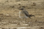 Collared Pratincole / Glareole a collier, Djoudj, dec. 2015 (J. Piot)