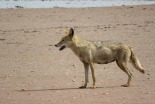 African Wolf (formerly known as Golden Jackal) / Loup d'Afrique (Chacal dore), Palmarin, nov. 2015 (B. Piot)