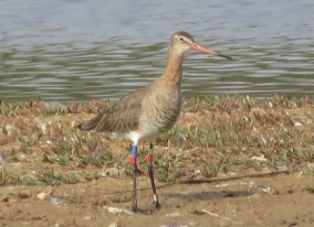 Black-tailed Godwit / Barge a queue noire