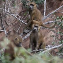 Guinea Baboons / Babouins de Guinee (S. Cavailles)