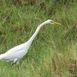 Great Egret / Grande Aigrette, Technopole, Dec. 2015 (B. Piot)