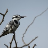 Pied Kingfisher / Martin-pecheur pie, Technopole, jan. 2016 (B. Piot)