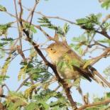 Eastern Olivaceous Warbler / Hypolaïs pâle, Guereo, mars 2016 (B. Piot)