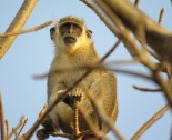 Green Monkey / Singe vert, Toutbab Dialaw, April 2016 (B. Piot)