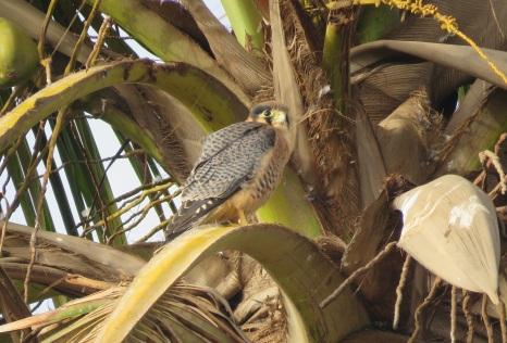 Red-necked Falcon / Faucon chiquera
