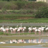 Greater Flamingo / Flamant rose, Technopole, 6 August 2016 (B. Piot)
