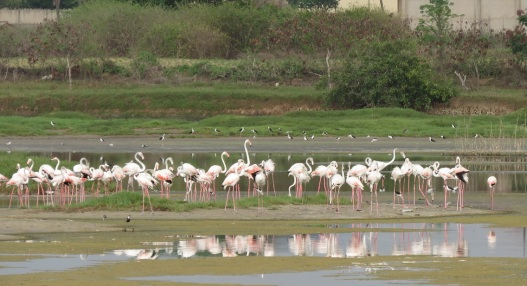 Greater Flamingo / Flamant rose