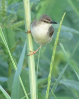 River Prinia / Prinia aquatique, Saint-Louis, Sept. 2016 (B. Piot)