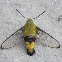 Coffee Bee Hawkmoth (Cephonodes hylas), Dakar, Oct. 2016 (B. Piot)