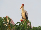 Yellow-billed Stork / Tentale ibis, Ziguinchor, Oct. 2016 (B. Piot)