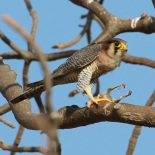 Red-necked Falcon / Faucon chicquera (A. Barbalat)