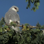 Elanion naucler - Swallow-tailed Kite (S. Cavaillès)
