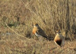 Temminck's Courser / Courvite de Temminck, Lac Rose, Jan. 2017 (B. Piot)