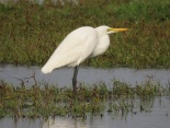 Great egret / Grande Aigrette, Technopole, February 2017 (B. Piot)