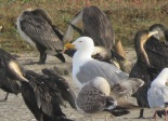 Yellow-legged Gull / Goéland leucophée, Technopole, March 2017 (B. Piot)