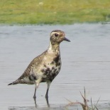 American Golden Plover / Pluvier bronzé, Technopole, April 2017 (B. Piot)