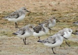 Sanderling & Little Stint, Technopole, May 2017 (B. Piot)