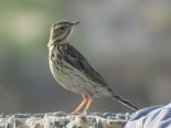 Tree Pipit / Pipit des arbres, Technopole, May 2016 (B. Piot)