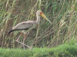 Yellow-billed Stork / Tantale ibis, Technopole, May 2017 (B. Piot)