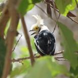 White-crested Helmetshrike / Bagadais casque, Toubacouta, June 2017 (B. Piot)