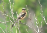 Woodchat x Red-backed Shrike / Pie-grieche a tete rousse x ecorcheur, LacTanma, Aug. 2017 (B. Piot)