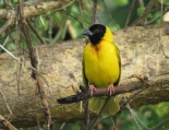 Black-headed Weaver / Tisserin a tete noire (B. Piot)
