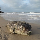 Stranded Pufferfish (B. Piot)
