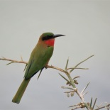 Red-throated Bee-eater / Guepier a gorge rouge, Garamadji Sare, Dec. 2017