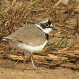 Little Ringed Plover / Petit Gravelot, Technopole, Feb. 2018 (B. PIot)
