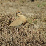 Temminck's Courser / Courvite de Temminck, Lac Rose, Feb 2018 (B. Piot)