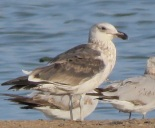 Kelp Gull / Goeland dominicain, Technopole, April 2018 (B. Piot)