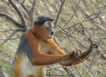 Western Red Colobus / Colobe de Temminck (B. Piot)