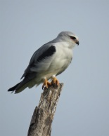 Black-winged Kite / Elanion blanc, Saint Louis (B. Piot)