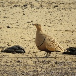 Chestnut-bellied Sandgrouse / Ganga a ventre brun, Ndiael (B. Piot)