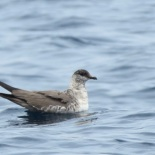 Long-tailed Skua / Labbe a longue queue, Ngor, Oct. 2018 (B. Piot)