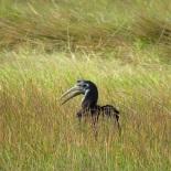 Abyssinian Ground Hornbill / Bucorve d'Abyssinie, Bignona, Jan. 2019 (B. Piot)