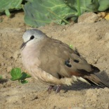 Black-billed Wood-Dove / Tourtelette d'Abyssinie (B. Piot)