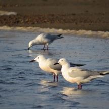 Slender-billed Gull / Goeland railleur (B. Piot)