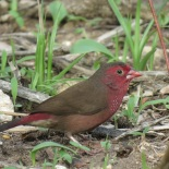 Bar-breasted Firefinch / Amarante pointé, Ziguinchor, July 2019 (B. Piot)