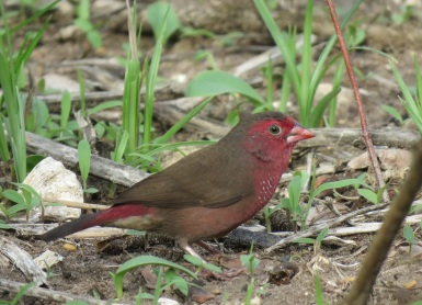 BarbreastedFirefinch_Boutoute_20190705_IMG_4350
